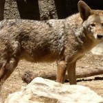 Larchmont Coyote Sightings on the Uptick Again