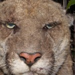Griffith Park Cougar Sick from Mange & Rat Poison