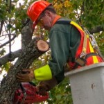 Urban Forestry Division Shares Tree Pruning Policy