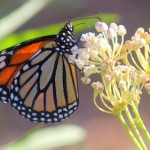 Pollinators in Peril: Plant for the Monarch Butterfly
