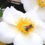 Pollinators in Peril: What You Can Do to Help