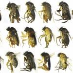 NHM BioSCAN Project finds 30 New Species of Flies in LA