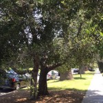 A Brief History of Street Trees, Part Two: Oaks