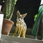 Tracking LA's Urban Coyotes: They're Not Just Passing Through
